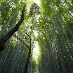 bamboo-forest-1-600